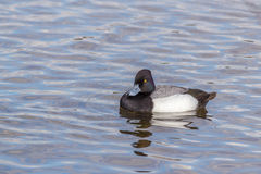 Greater Scaup or Bluebill. Greater Scaup male and female swimming in the lake Stock Images
