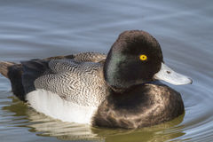 Greater Scaup Close Up Stock Images