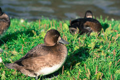 Greater Scaup Duck Royalty Free Stock Photography