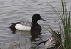 Greater Scaup Duck Stock Photos