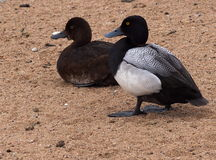 Greater Scaup Ducks Stock Photography