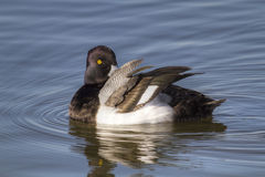 Greater Scaup Grooming Royalty Free Stock Photos