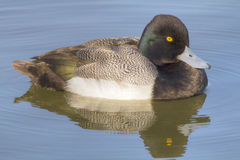Greater Scaup. A male Greater Scaup (Aythya marila)  floating in the sunlight at Whiterock Lake in Dallas, Texas Stock Image
