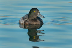 Greater Scaup Stock Images