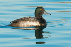Greater Scaup Royalty Free Stock Photo