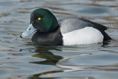Greater Scaup Stock Photo