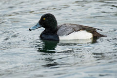 Greater Scaup Royalty Free Stock Photos