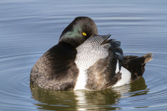 Greater Scaup Masquerade Stock Images