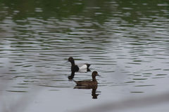 Greater Scaup Royalty Free Stock Image