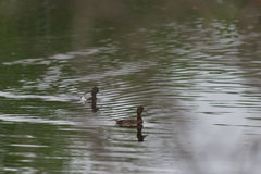 Greater Scaup Pair Stock Photos