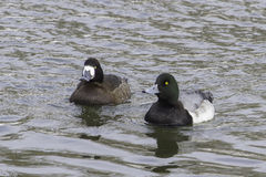 Greater Scaup Stock Photos