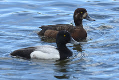 Greater Scaup pair Royalty Free Stock Image