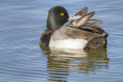 Greater Scaup Preening Royalty Free Stock Photography