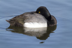 Greater Scaup at Rest Royalty Free Stock Images
