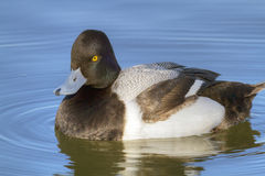 Greater Scaup Sideview. A male Greater Scaup (Aythya marila)  floating in the sunlight at Whiterock Lake in Dallas, Texas Stock Images