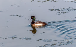 Greater Scaup swimming in a frozen Chesapeake bay Stock Photo