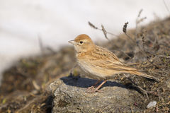 Greater Short-toed Lark - Calandrella brachydactyl Stock Image
