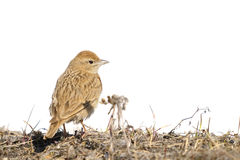 Greater Short-toed Lark, Calandrella brachydactyla Royalty Free Stock Photos