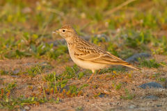 Greater Short-Toed Lark Stock Photo