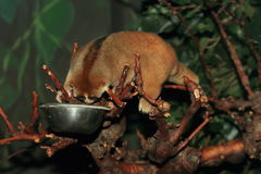 Greater slow loris. Looking down the food bowl stock images
