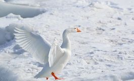 Greater Snow Goose, Goose Royalty Free Stock Image