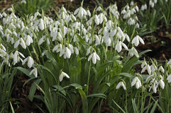 Greater Snowdrops Royalty Free Stock Photo