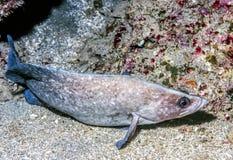 Greater Soapfish Stock Image