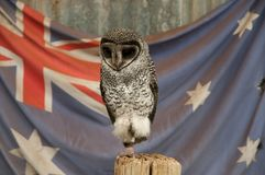 Greater Sooty Owl Stock Photography