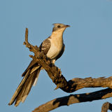Greater Spotted Cuckoo Stock Photo