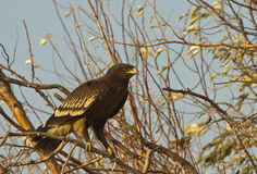 Greater Spotted Eagle. Is perching on a tree branch royalty free stock photo