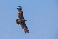 Greater Spotted Eagle. Flying in blue sky Royalty Free Stock Photos