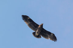 Greater Spotted Eagle. Flying in blue sky stock images