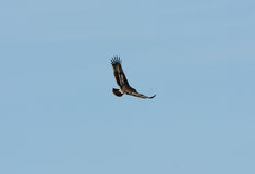 Greater Spotted Eagle (Aquila clanga) Stock Image