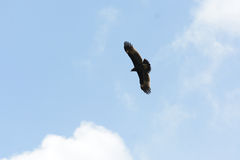 Greater Spotted Eagle (Aquila clanga) Royalty Free Stock Image