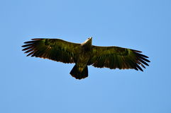 The Greater Spotted Eagle (Aquila clanga) Stock Photo