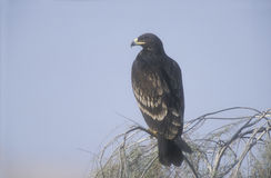 Greater-spotted eagle,  Aquila clanga Stock Photography