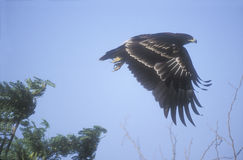 Greater-spotted eagle,  Aquila clanga Stock Images