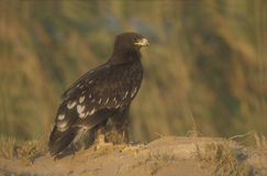 Greater-spotted eagle,  Aquila clanga Royalty Free Stock Photography