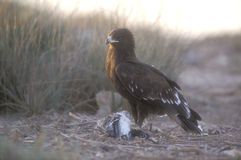 Greater-spotted eagle,  Aquila clanga Royalty Free Stock Images