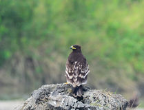 ( Greater Spotted Eagle ) Royalty Free Stock Photo