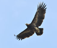 Greater Spotted Eagle Stock Photos