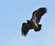 Greater Spotted Eagle Stock Images