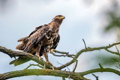 Greater spotted eagle or Clanga clanga. Large bird of prey or raptor Stock Photo