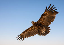 Greater spotted eagle during a desert falconry show in Dubai, UAE. Stock Image