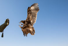 Greater spotted eagle during a desert falconry show in Dubai, UAE. Stock Photo