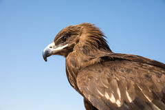 Greater spotted eagle during a desert falconry show in Dubai, UAE. Stock Photography