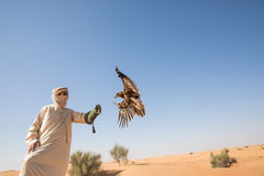 Greater spotted eagle during a desert falconry show in Dubai, UAE. Royalty Free Stock Image