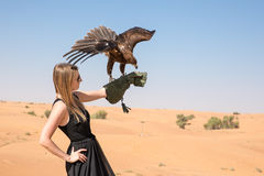 Greater spotted eagle during a desert falconry show in Dubai, UAE. Stock Images