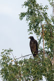 Greater Spotted Eagle Royalty Free Stock Image