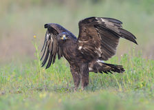 Greater Spotted Eagle Stock Photo